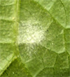 White Smear on the Underside of Leaves. 3/16""