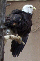 A Bald Eagle. Photo Taken in a Zoo in the southwest.