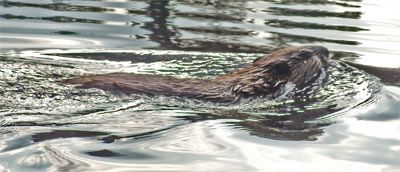 A Beaver Swimming