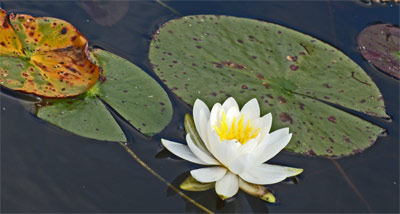 A Lily Flower and Lily Pads. Common in protected waters.
