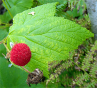 Thimbleberry (edible and tasty, a little more sour than a raspberry)