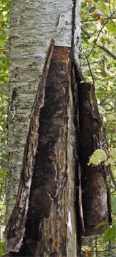 Lightning had left a long vertical scar on this Birch Tree. The bark was peeling back, and was about 3/16 inches thick. It was stiff and strong, and it was easy to see how a very servicable canoe could easily be made from birch tree bark.