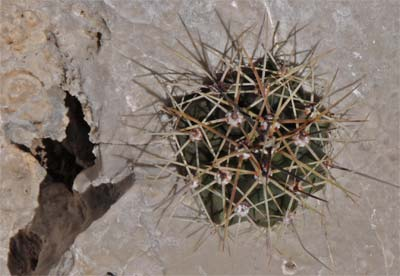 Barrel Cactus Growing in a Solution Hole in Limestone