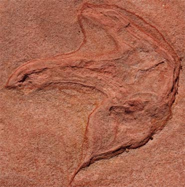 Kayentapus, or 7 inch Track of a 15-18 foot long 2 legged Carnivorous Dinosaur, distantly related to Tyrannosaurus rex or Velociraptor