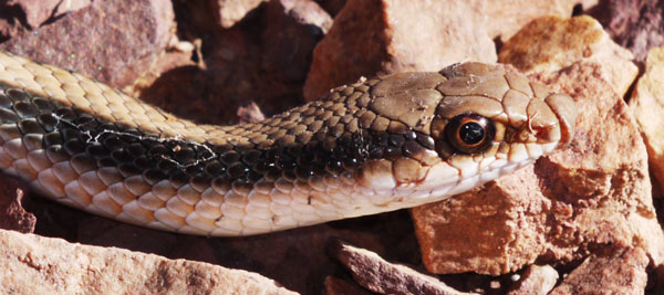 Western Patch Nosed Snake, Salvadora hexalepis