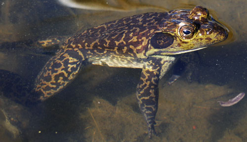 Bullfrog at Doc Campbell's