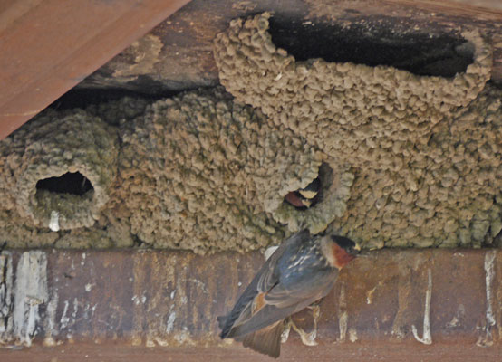 Swallows under South Fork Kern River Bridge