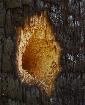 Woodpecker Hole in Charred Tree