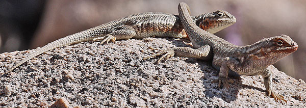 Mating Lizards