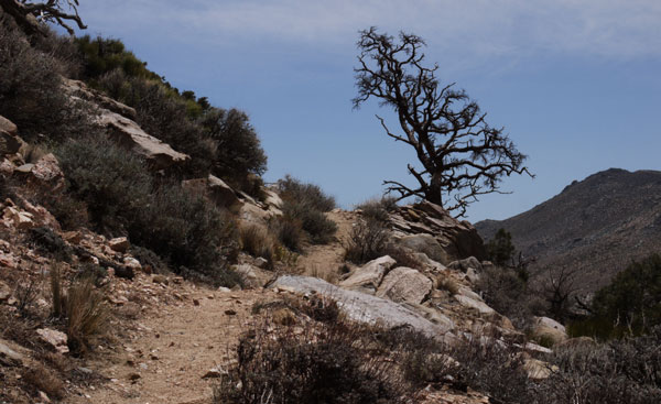 Tree and Pacific Crest Trail