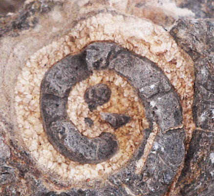 Fossil Snail