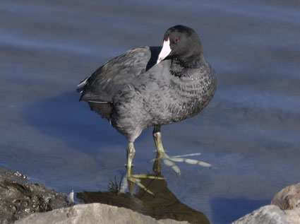 American Coot Perched on Rip Rap