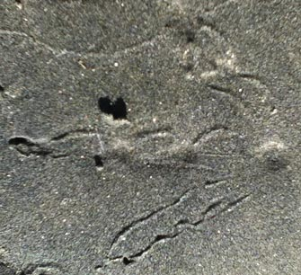 American Coot Track in Sand