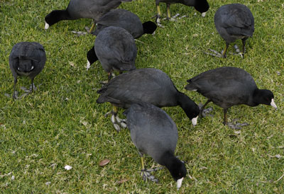 American Coots Eating Lawn Grass