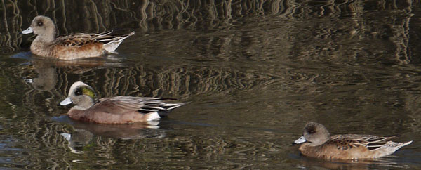 American Wigeons in Famosa Slough