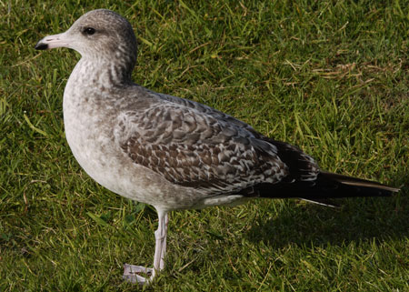 California Gull in First Winter Camoflage Colors