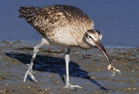 Long Billed Curlew Eating Crab