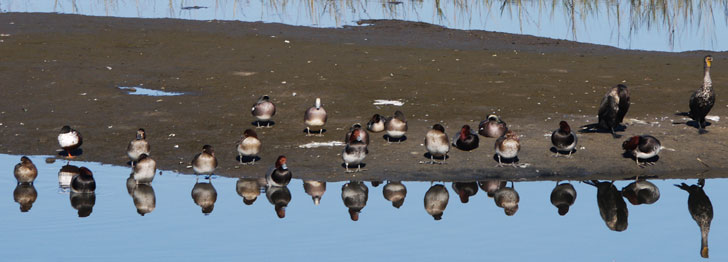 Mudbar with Redheads, American Wigeons, and Cormorants