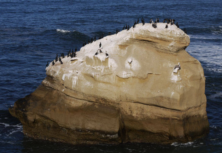 Sunset Cliffs Sea Stack with Cormorants, Brown Pelicans, and Gulls