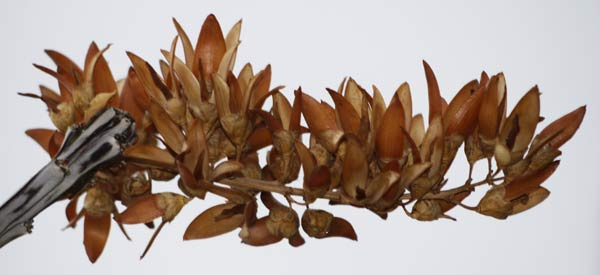 Dried Ocotillo Flowers