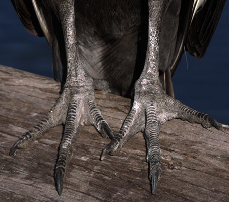 Black Vulture Feet