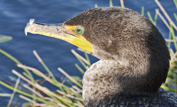 Double-Crested Cormorant Face
