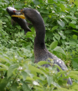 Double-Crested Cormorant with Fish