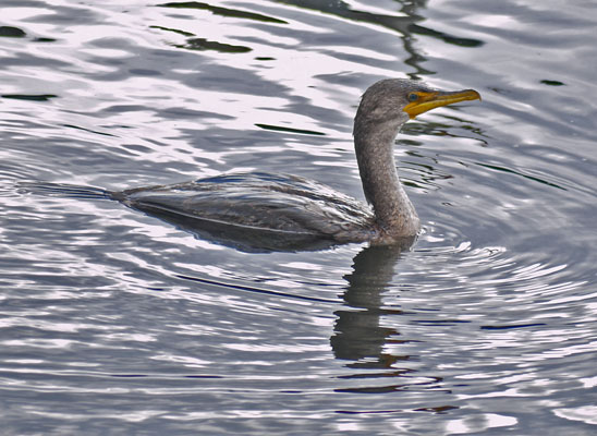 Double-Crested Cormorant Swimming