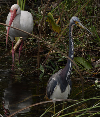 White Ibis, Tri Colored Heron