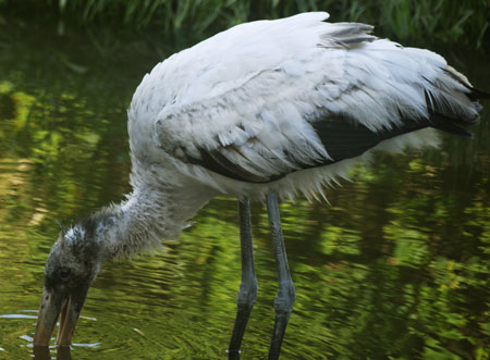 Wood Stork Foraging