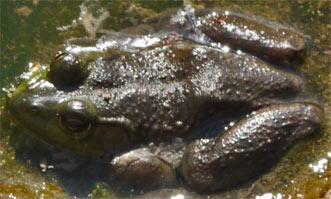 Eastern Narrowmouth Toad, Rottenwood Creek, Marietta, Georgia