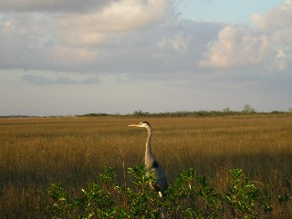 Great Blue Heron in a Sawgrass Prarie, Everglades, Florida