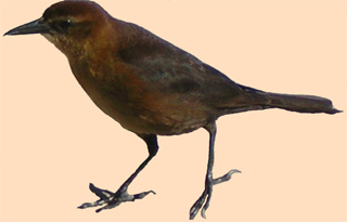 Female Boat Tail Grackle at Alligator Alley Rest Area