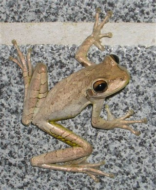This frog lived in the men's room at the Long Pine Campground, Everglades, Florida.