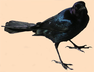 Male Boat Tail Grackle at Alligator Alley Rest Area