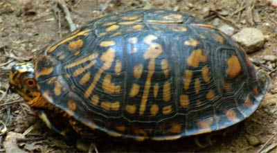 A Box Turtle, commonly seen in Georgia after rains, at East Palisades