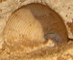 Fossil Clam Shell Imprint in Limestone Cavern Wall