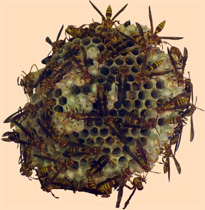 Wasp's nest on July 28