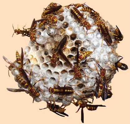 Wasp's nest on July 22