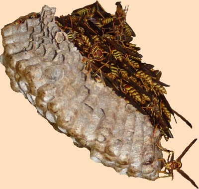 Wasp's nest on October 20th